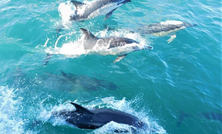 Ak Willife Cruises, dolphins