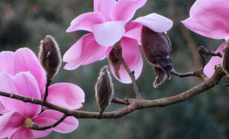 Magnolias in a Cornish garden