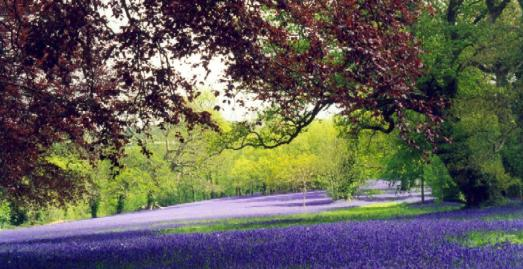 Bluebells at Enys Garden, near Penryn, Cornwall