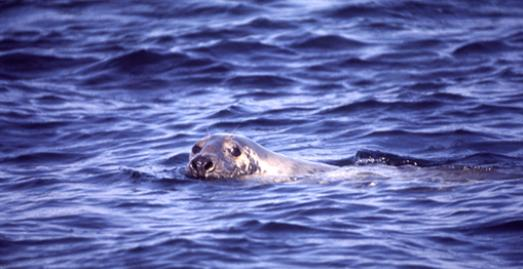 A grey seal off the coast of Cornwall [c] Cornwall Wildlife Trust