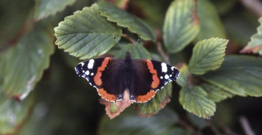 Red Admiral butterfly [c] JBS Bottomley/Cornwall Wildlife Trust