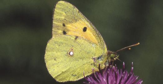 Clouded Yellow Butterfly c JBS Bottomley/Cornwall Wildlife Trust