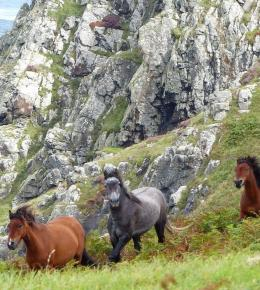 Ponies grazing on Porthmeor Cliff