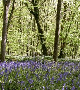 The Bluebell wood at Treworgey