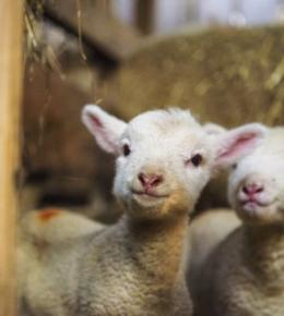 Join us for Lambing at The Olde House