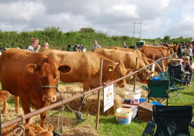 Stithians Show, Cornwall, Cattle section Vyv Toms