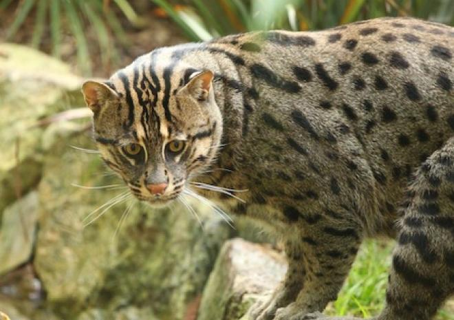 Fishing Cat, Newquay Zoo, Cornwall