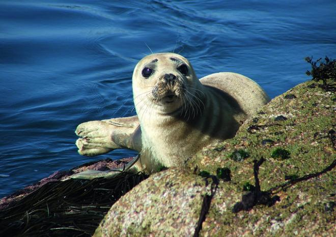 Seal, Isles of Scilly c Miek Harcum