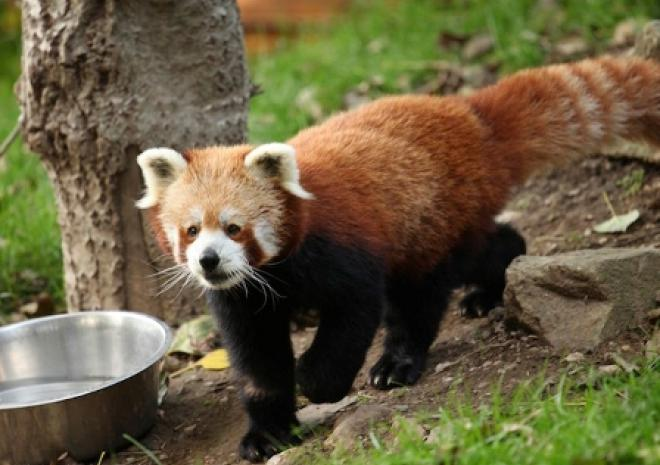 Red Panda, Newquay Zoo, Cornwall