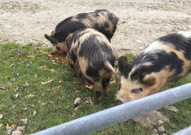 Meet our three little piggies they are always ready to see some one,