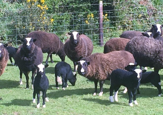 Our flock of rear breed Balwean sheep