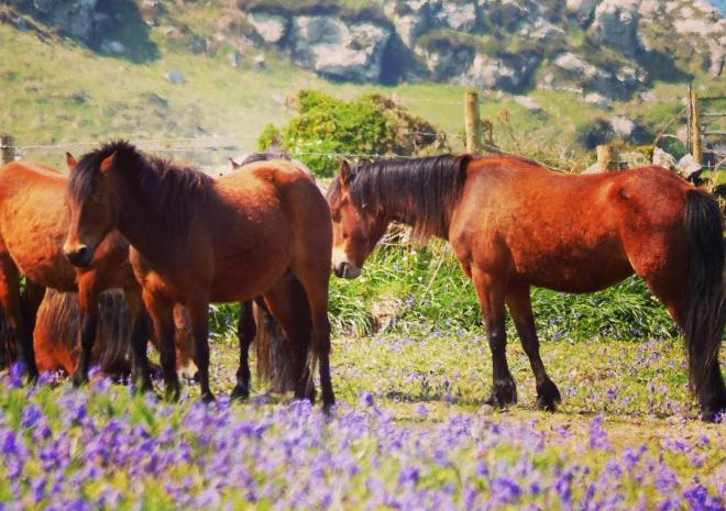 Our ponies grazing the cliff on the South West Coast Path at Porthmeor
