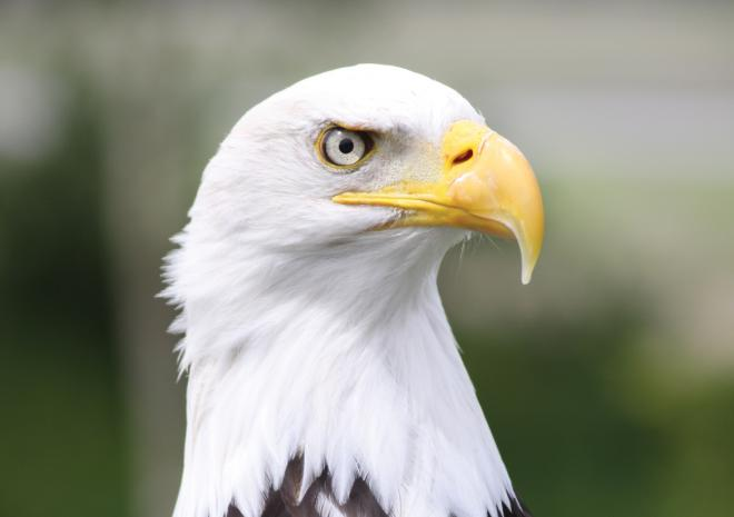 Bald Eagle, displays, flying show, Paradise Park, Hayle, Cornwall, Things to do