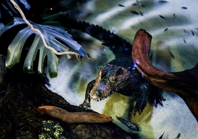 Caiman Croc| Blue Reef Aquarium, Newquay, Cornwall