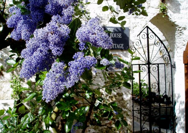 Ceanothus at the entrance