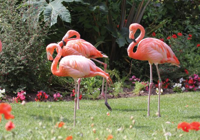 Flamingos, Paradise Park, Hayle, Cornwall, Things to do