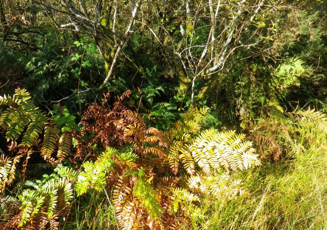 Royal Fern | Helman Tor Nature Reserve | Bodmin | Cornwall