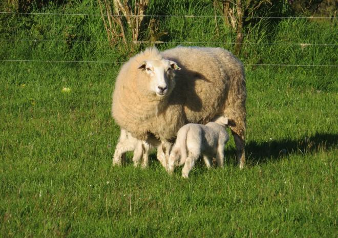 Baby lambs with Mum