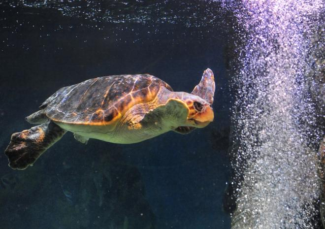 THe Logger Head Turtle| Blue Reef Aquarium, Newquay, Cornwall