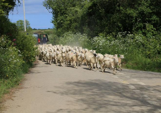 Moving sheep at Penhallow Farm