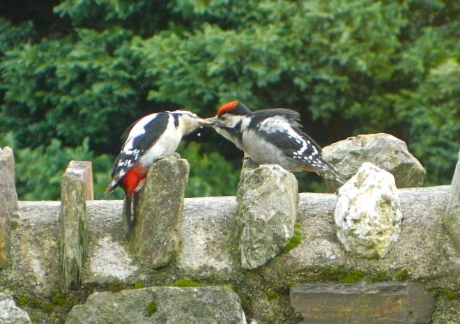 Woodpeckers feeding Gospenheale Barn Garden