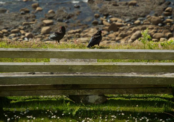 Choughs on the bench at Wheal Call