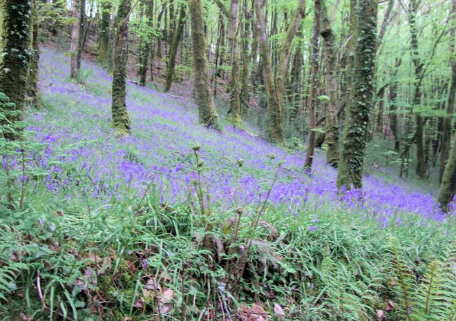 Bluebell woods | Well Cottage | Looe | Cornwall