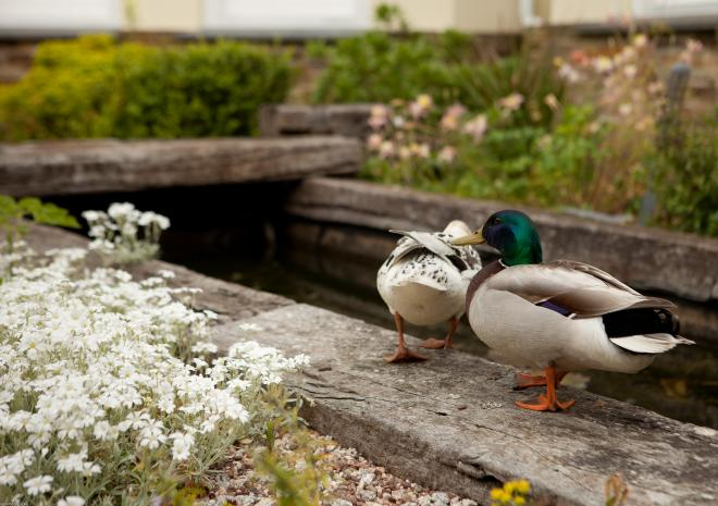 Ducks by The Fishpond Rose in Vale Country House Hotel, St Agnes, Cornwall