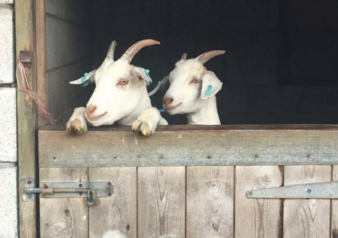 friendly goats aT CHARK FARM IN CORNWALL