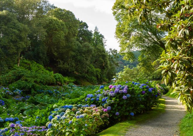 Hydrangeas at Trebah Garden