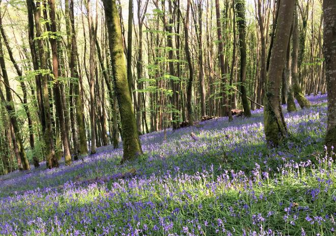 Bluebells in the Looe Valley near Polraen Country House Hotel Cornwall