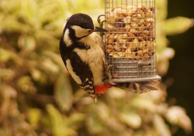 Woodpecker on bird feeding station in Badgers Sett holiday Cottages garden