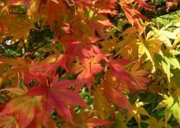 Japanese Maple | Autumn | Cornwall