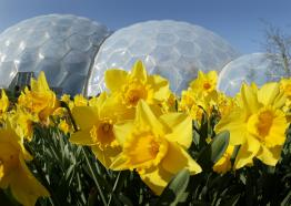 Daffodils at Eden