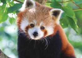 Red Panda Paradise Park and JungleBarn, Things to do,  Hayle,  St Ives, Cornwall