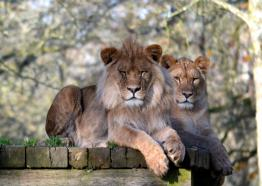 Lions, Semira and Boss, Newquay Zoo, Cornwall