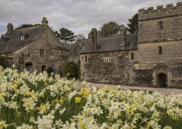 Cotehele house with daffodils in bloom in April