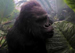 Gorilla at the Eden Project