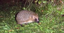Hedgehog c JB and S Bottomley/Cornwall Wildlife Trust