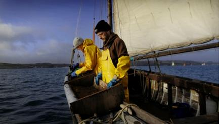 Oyster Gathering & Seafood Harvest,Falmouth, Cornwall, image by MikeThomas